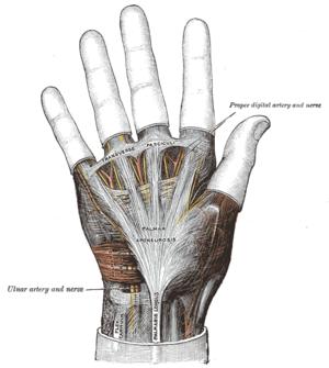 The palmar aponeurosis.